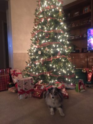 Our dog Newt waiting to unwrap his gifts under the Christmas tree