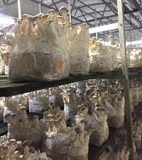 Mushrooms at Phillips Mushroom Farms