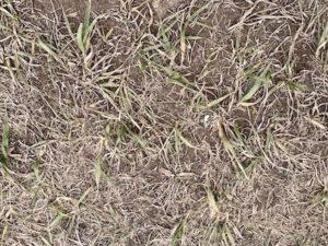 sparse grass in dirt